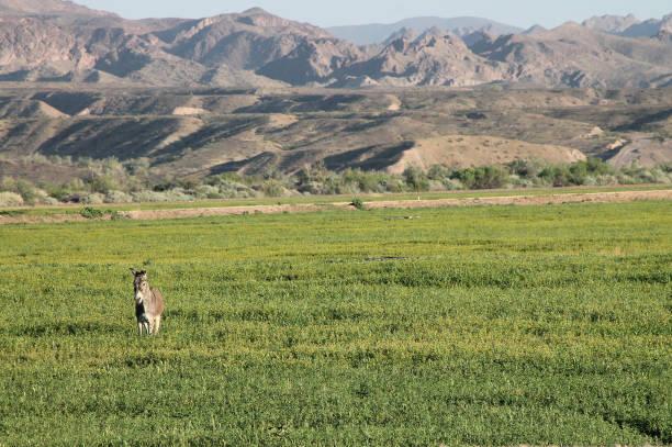 wild burro in field 1 stock photo