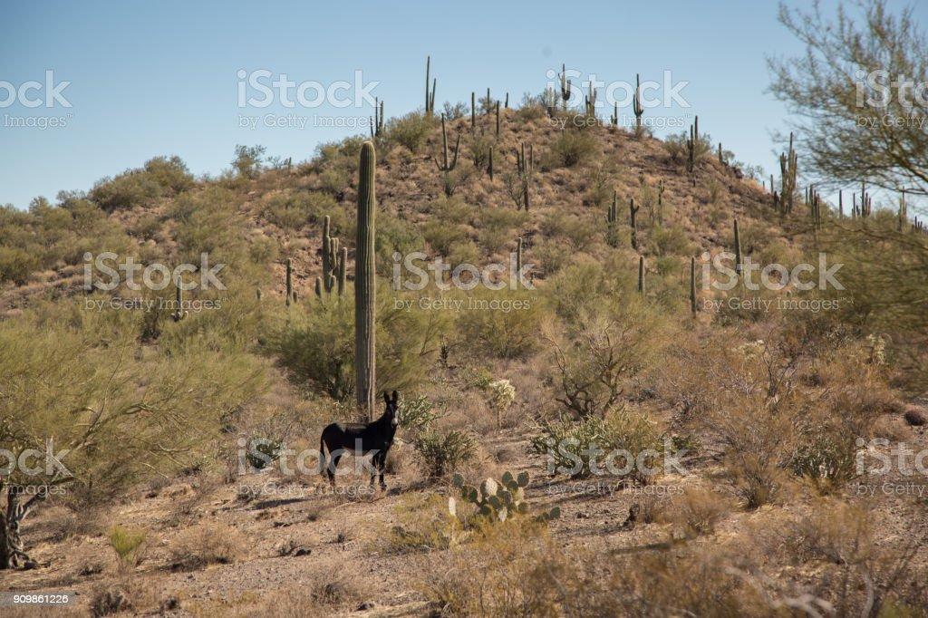 Um burro selvagem nas montanhas de área de phoenix - foto de acervo