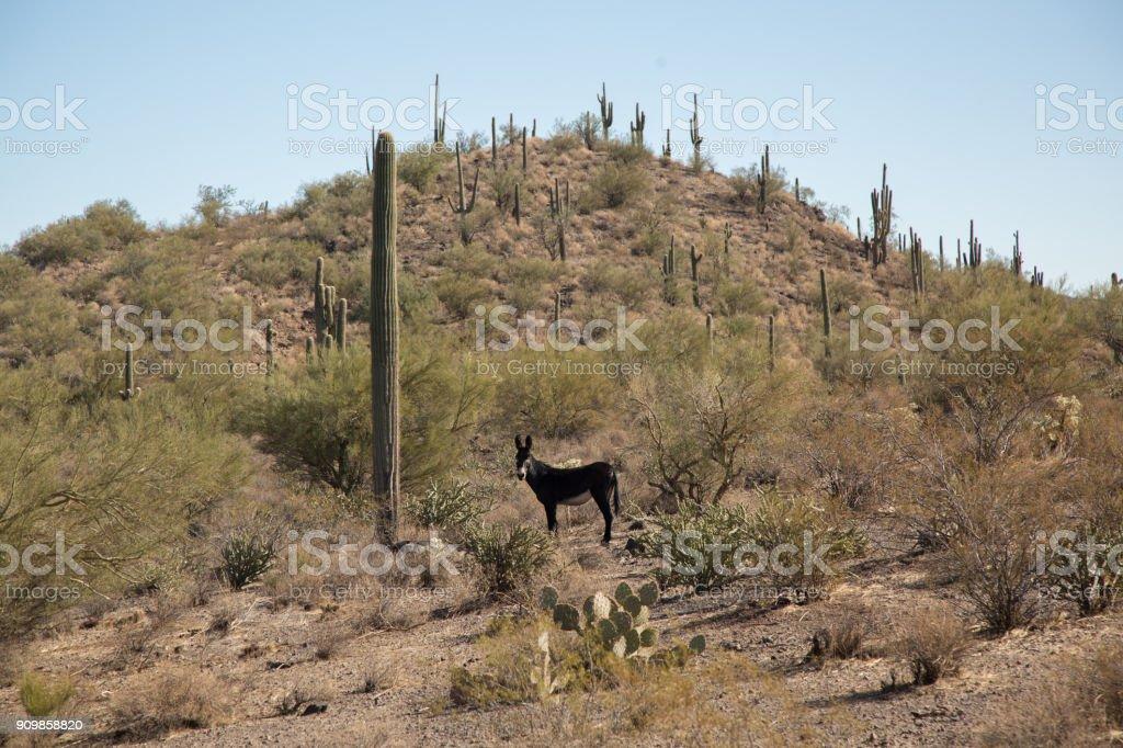 burro selvagem perto de cacto - foto de acervo