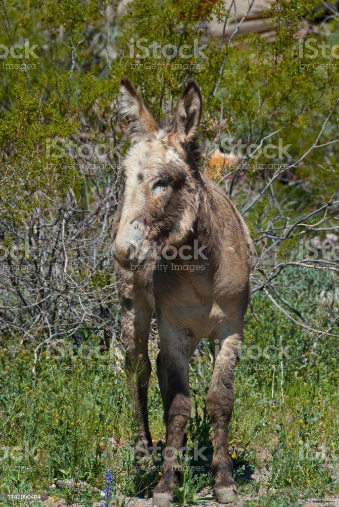 Wild Burro of Oatman Arizona stock photo