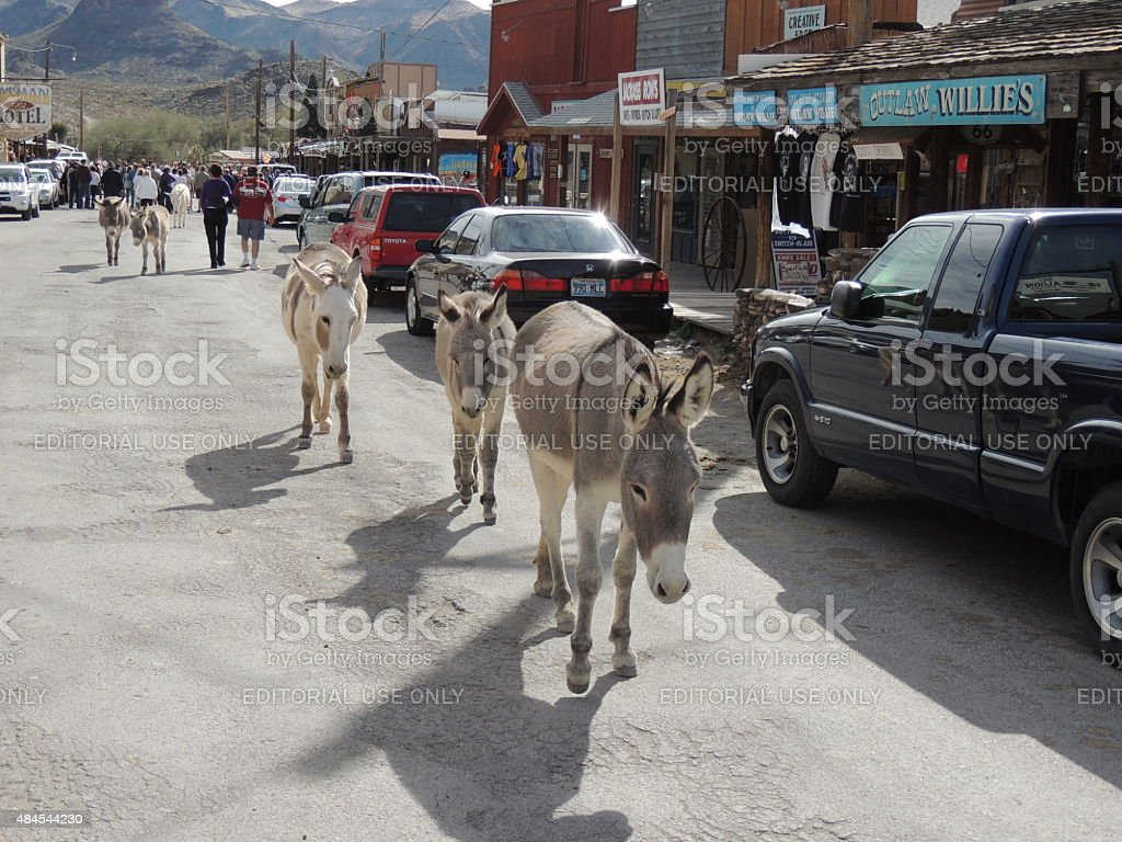 WIld Burro parade through town stock photo