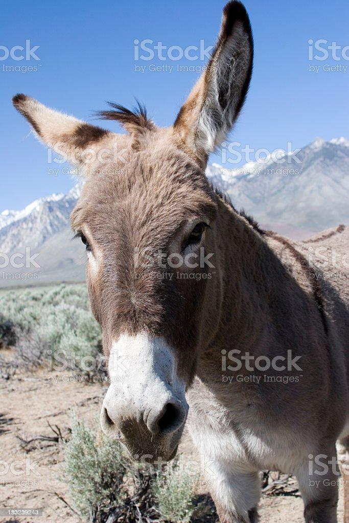 Wild Burro royalty-free stock photo