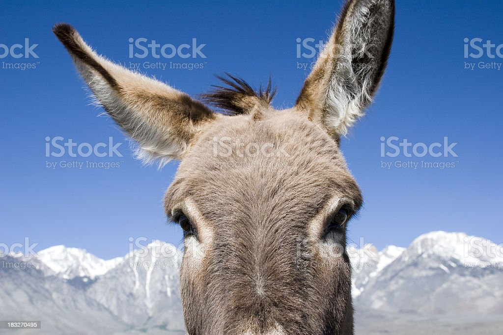 Wild Burro royalty-free stock photo