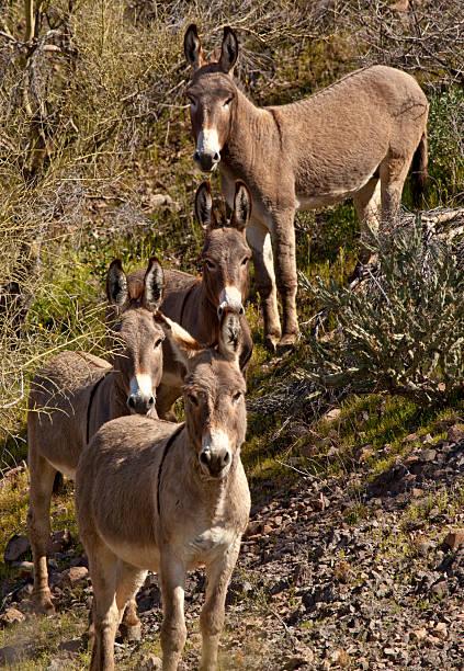 Wild Burros no Arizona - foto de acervo
