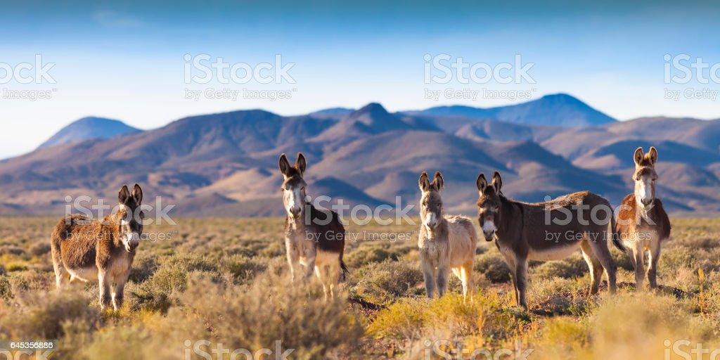 Wild Burros in Nevada Landscape stock photo