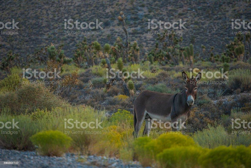 Wild burros in Nevada mountains - foto de acervo