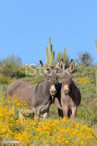 wild burros in the Arizona desert in spring