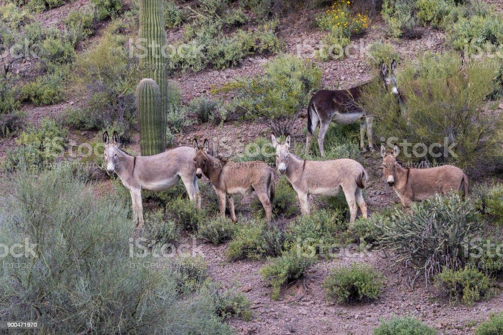 Burros selvagens no deserto do Arizona - foto de acervo
