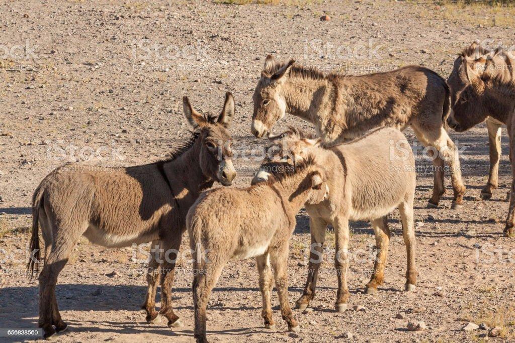Burros selvagens no deserto - foto de acervo