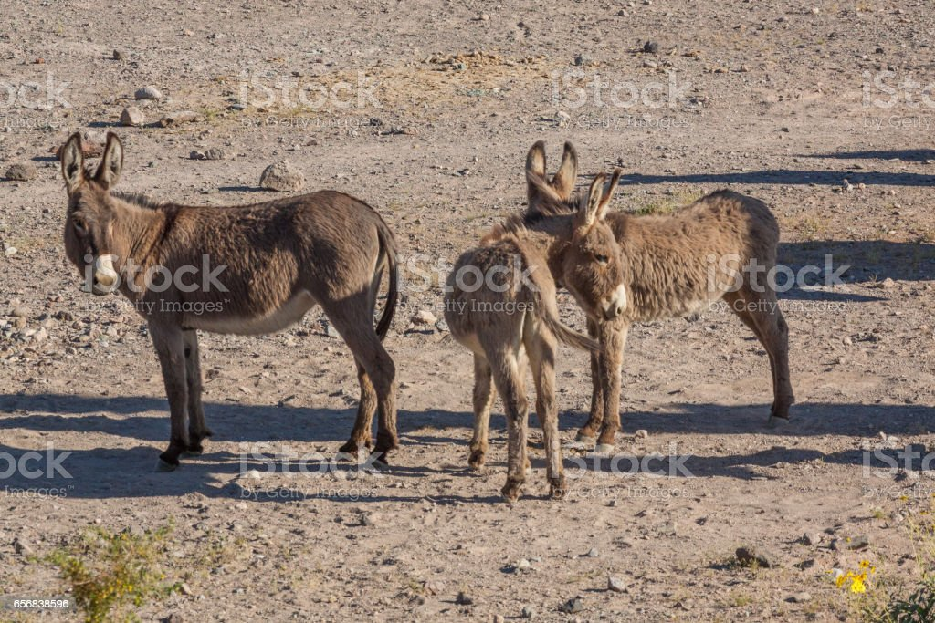 Wild Burros in the Desert - foto de acervo