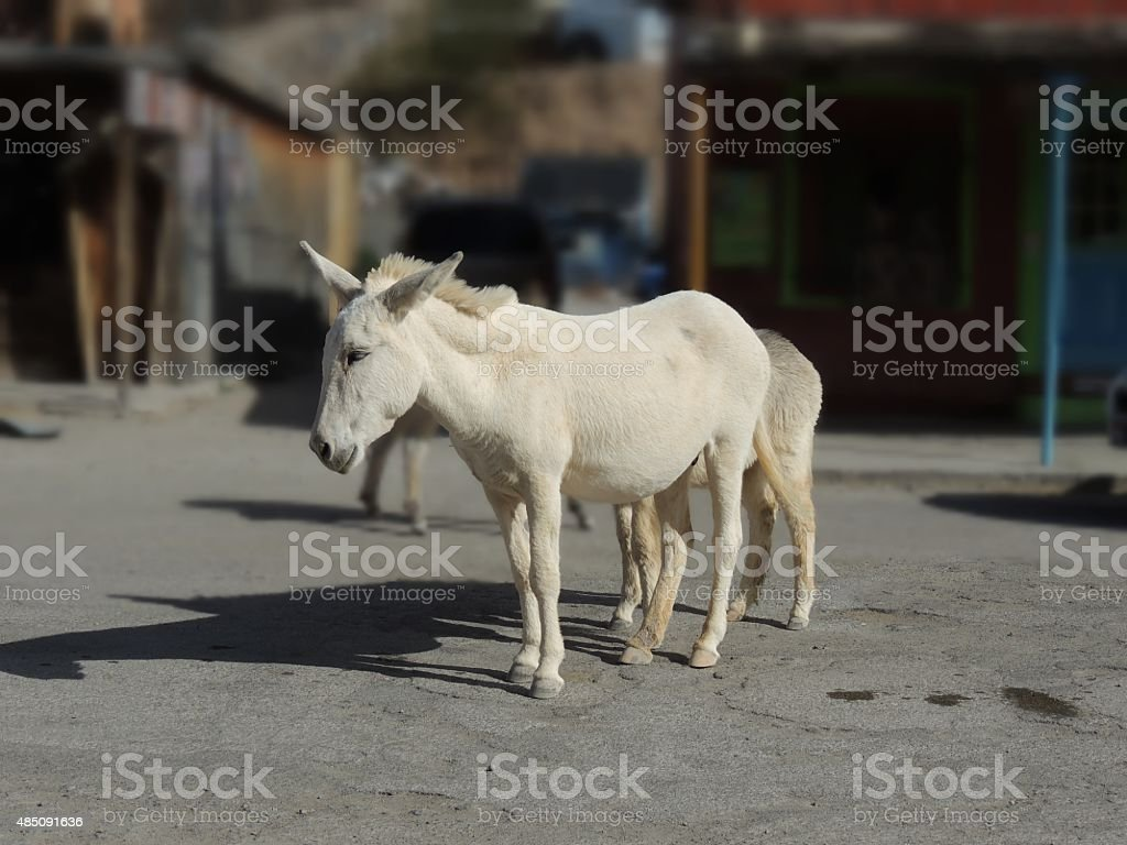 Wild Burros Oatman Arizona stock photo