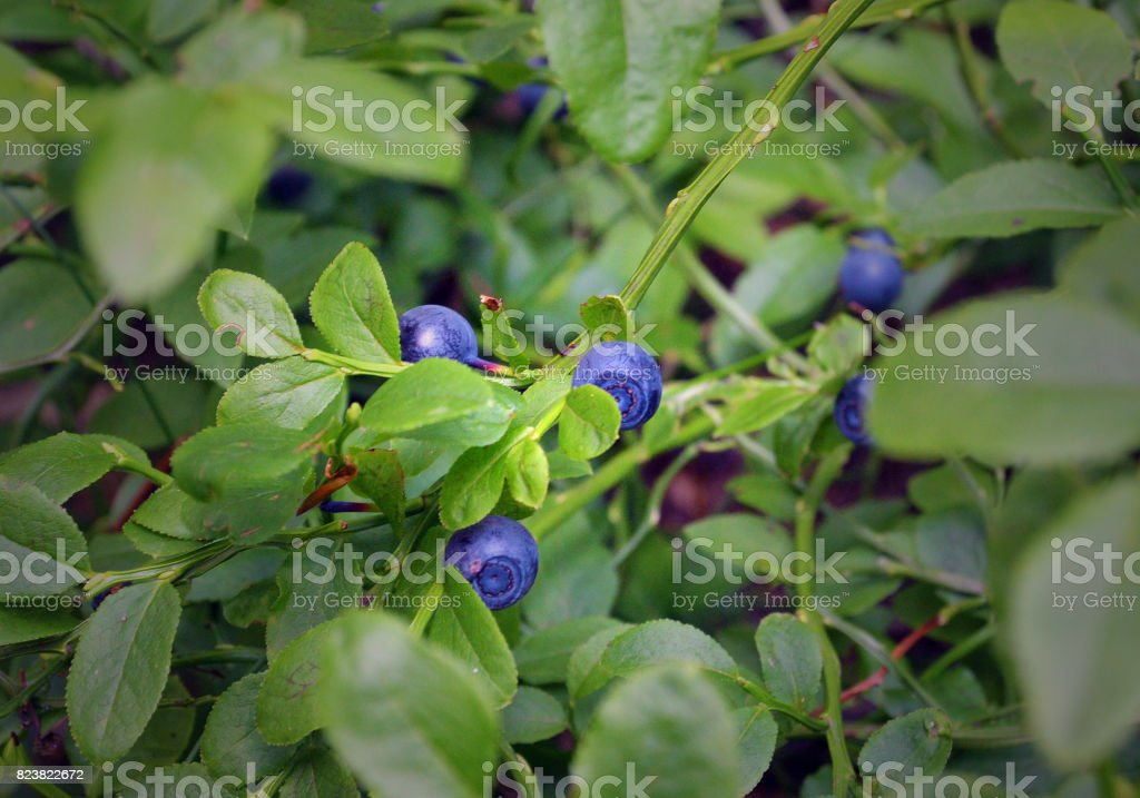 wild bush of blueberry with fruits selective focus stock photo