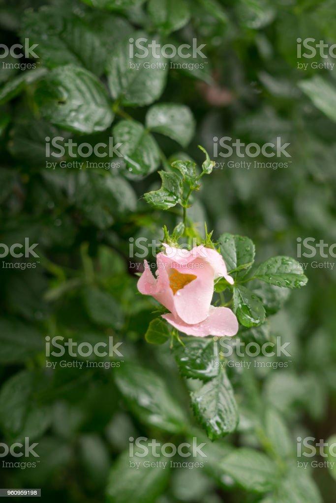 Wilden Busch von blühenden Dornstrauch in der Tropfen der Frühlingsregen - Lizenzfrei Aromatherapie Stock-Foto