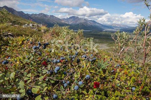 Wild organic blueberries in sunny forest, Alaska