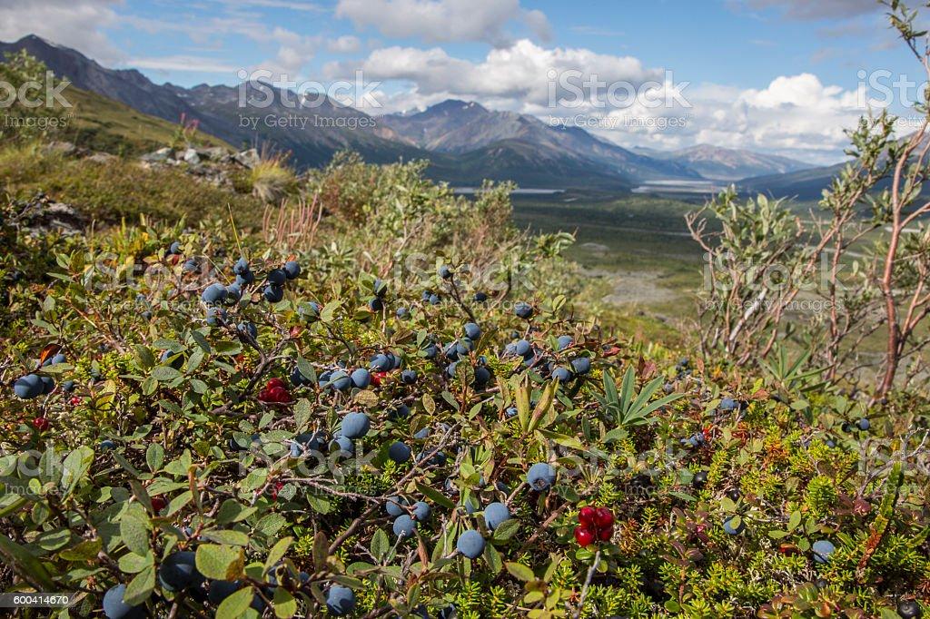 Wild bush of ripe blueberries in remote mountain landscape stock photo