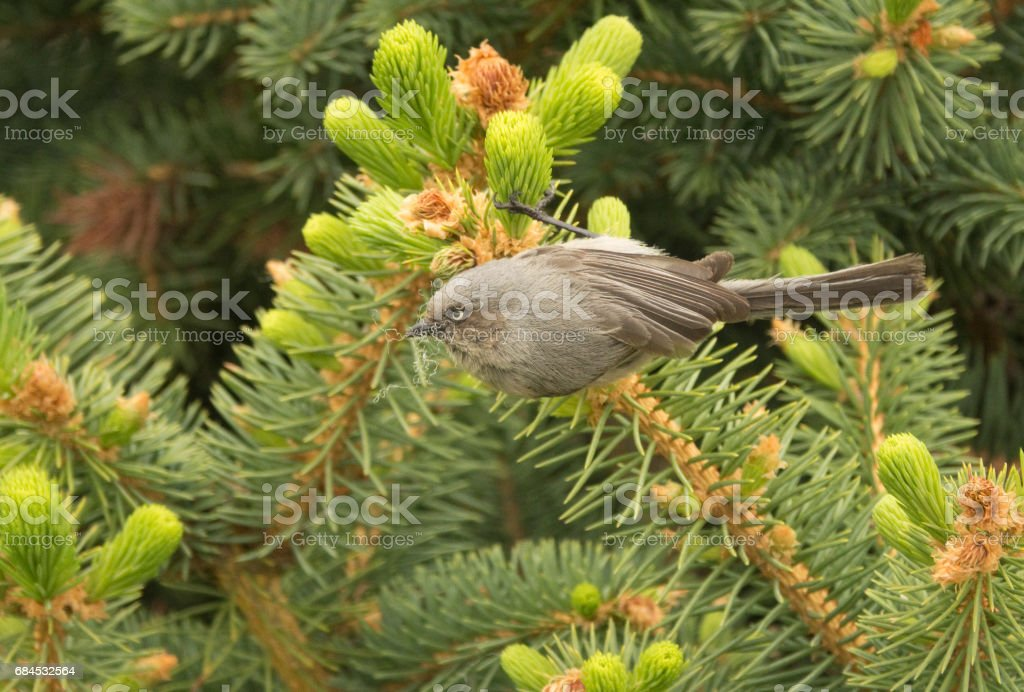 Wild Bushtit Bird Collects Pine Tree Nesting Material Denver