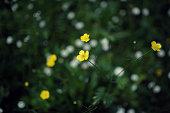 Wild buttercup - Ranunculus