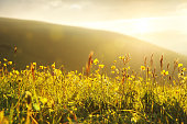 Beautiful fields of wildly growing yellow buttercups with the setting sun in the background