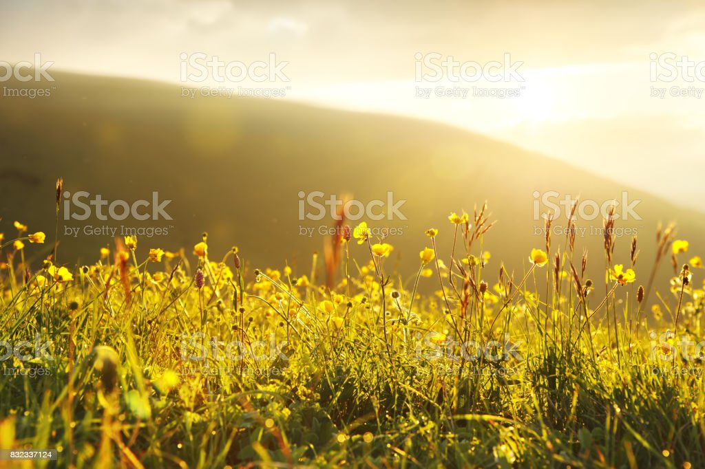 Wild buttercups in the setting yellow light stock photo