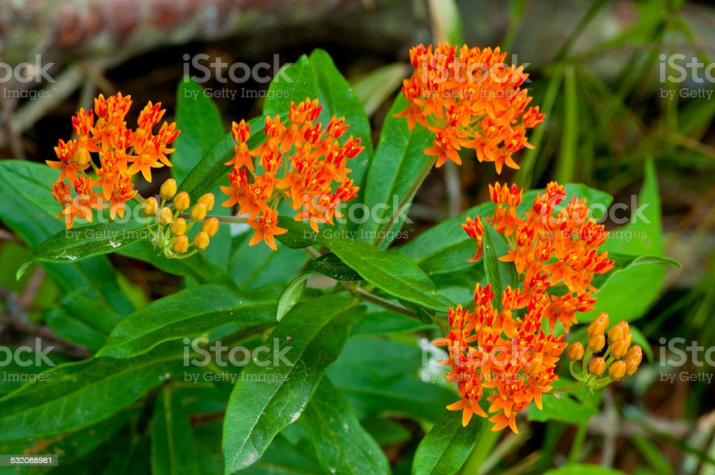 Wild Butterfly Weed blooming. stock photo