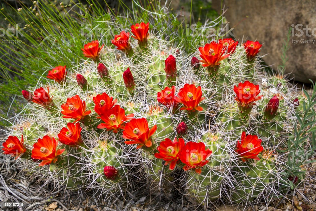Wild cactus flowers growing in the Anza Borrego State Park, USA. stock photo