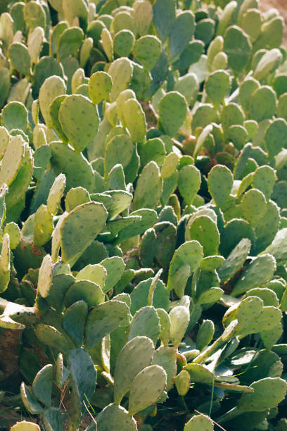 wild cactus on the coast by the sea - lepro stock pictures, royalty-free photos & images