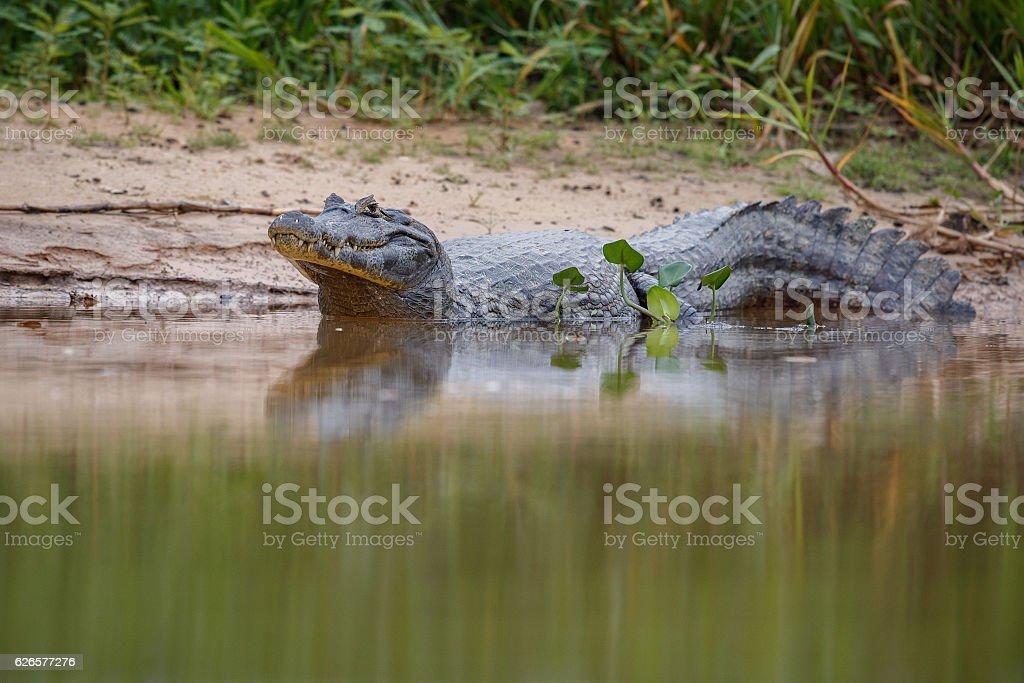 Wild caiman in the nature habitat, wild brasil stock photo