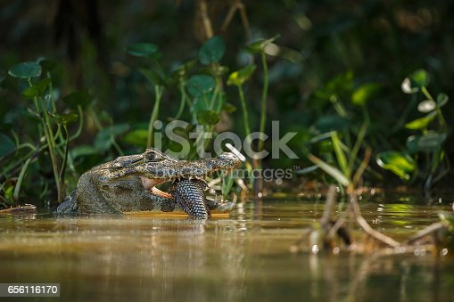 istock Wild caiman with fish in mouth in the nature habitat 656116170