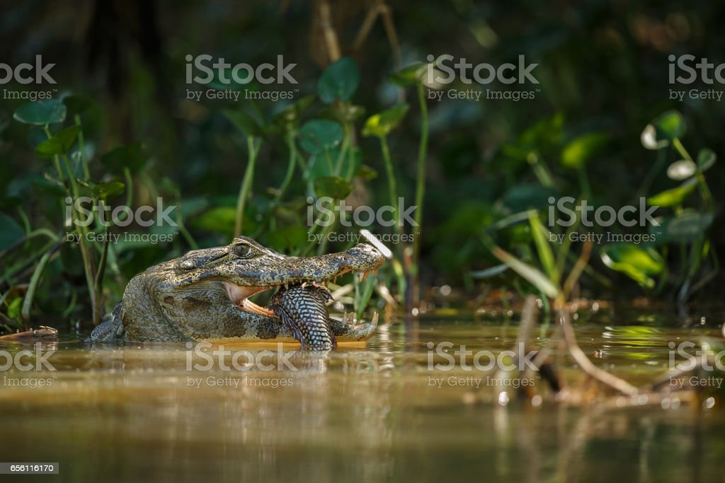 Wild caiman with fish in mouth in the nature habitat stock photo