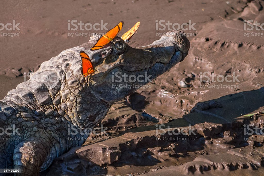 Wild caiman with orange butterflies on a jungle river bank stock photo