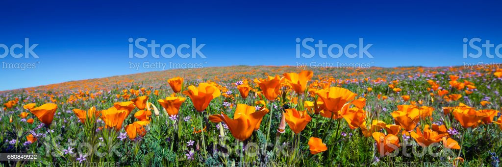 Wild California Poppies at Antelope Valley California Poppy Reserve stock photo