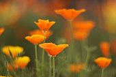 Multicolored flowers in the Antelope Valley Poppy Reserve near Lancaster, California.
