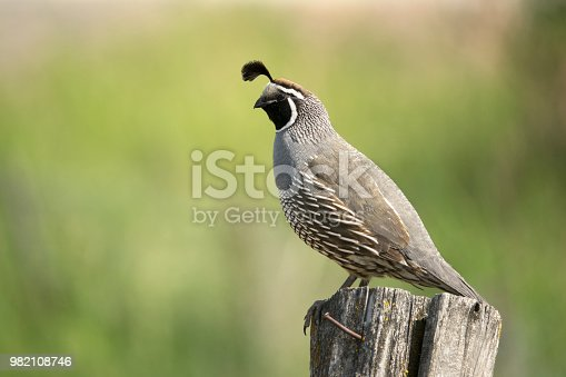 With rusted nails sticking out, a wild California quail sings while perched on a old fencepost in Tonesket, Washington.
