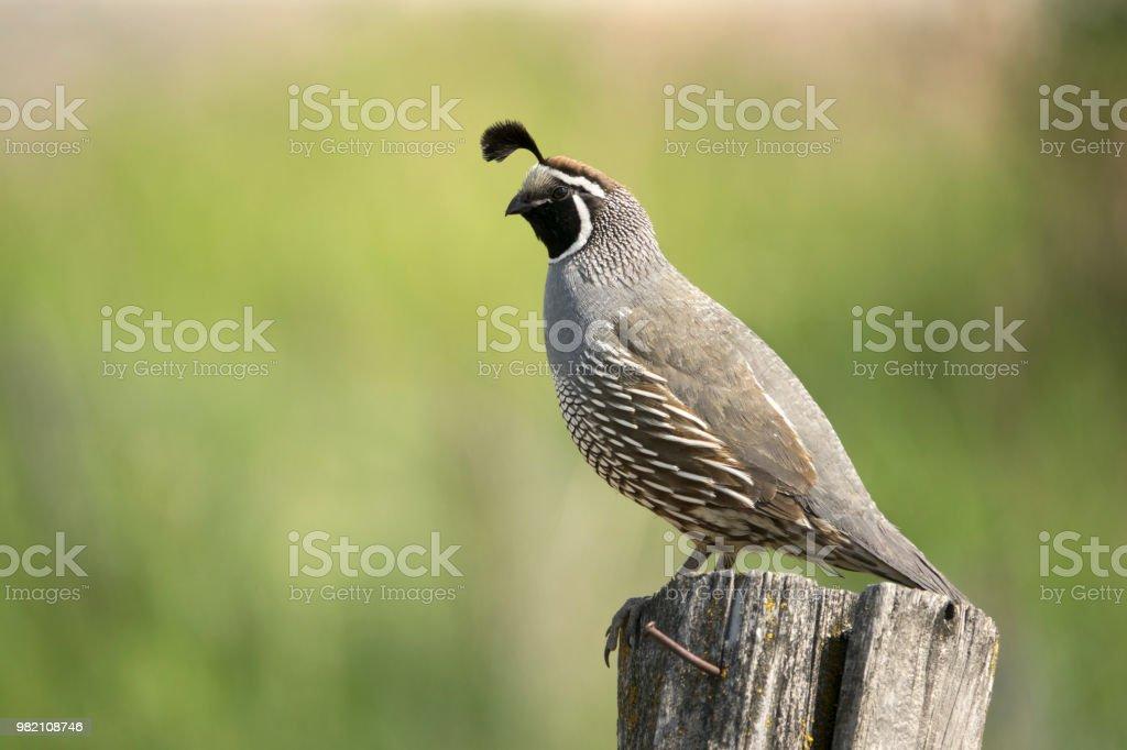 Wild California quail perched fencepost Tonesket Washington stock photo