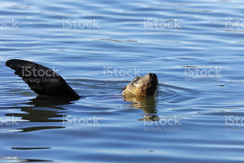 Wild California Sea Lion Swimming in Harbor. royalty-free stock photo