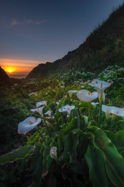 Wild Calla Lilly during sunset – zdjęcie