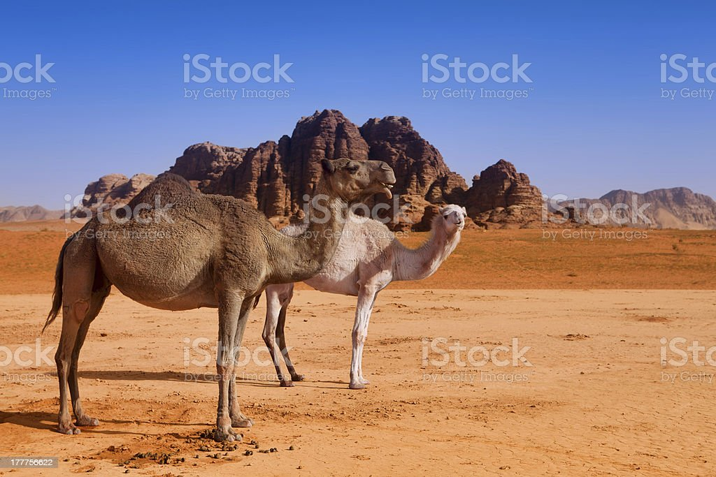 Wild camel family in Wadi Rum desert royalty-free stock photo