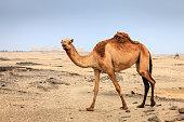 Wild camel in a desert near Salalah in Oman