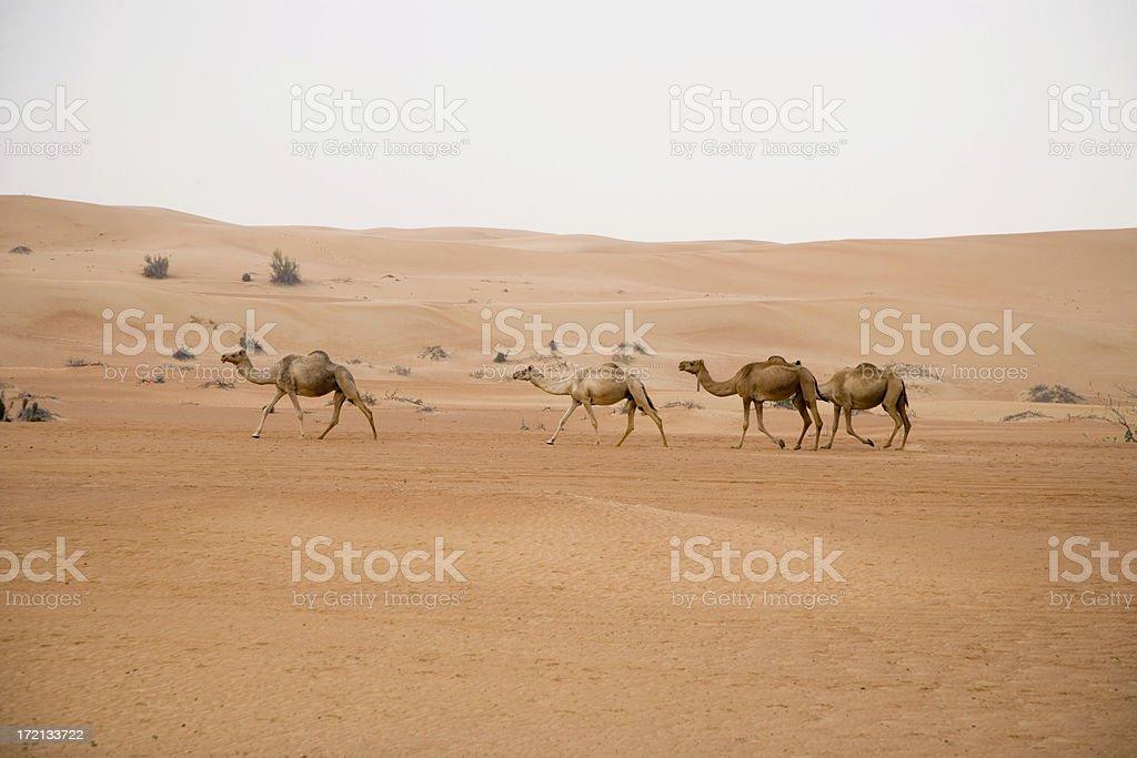 Wild Camels in Rub' al-Khali Desert royalty-free stock photo