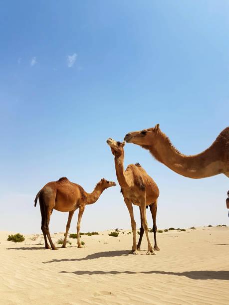 Des chameaux sauvages dans le désert. - Photo