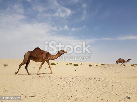 Desert landscape with camel .