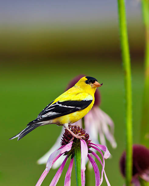 Wild Canary Bird A close up shot of a male American Goldfinch (Carduelis tristis) also known as the Eastern Goldfinch and Wild Canary on top of a purple flower. american goldfinch stock pictures, royalty-free photos & images