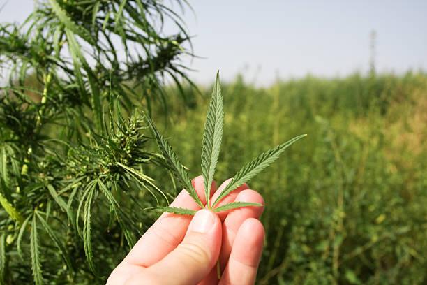 Wild cannabis in das Feld – Foto