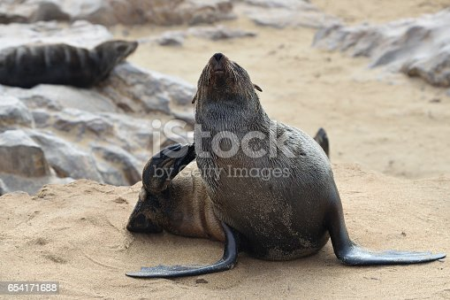 Cape fur seal itches at the sandy coast of Atlantic ocean. Seal colony on the Cape Cross, Skeleton Coast, Namibia