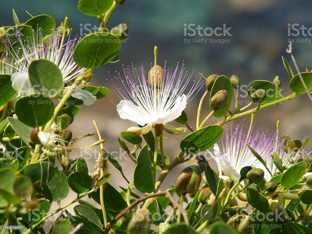Wild Caper - Capparis spinosa stock photo