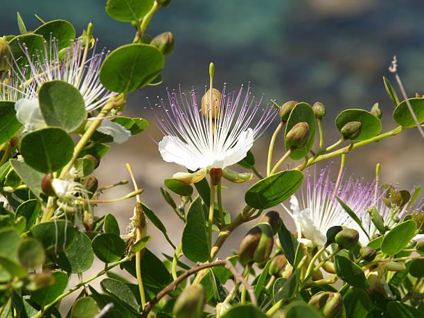 wild kapern-capparis spinosa - kaper stock-fotos und bilder
