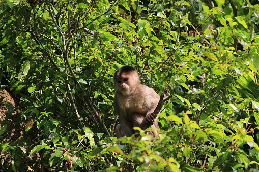 Wild Capuchin Monky Cebus Albifrons Halfway Visible Through The Many Bright Green Leaves Stock Photo - Download Image Now