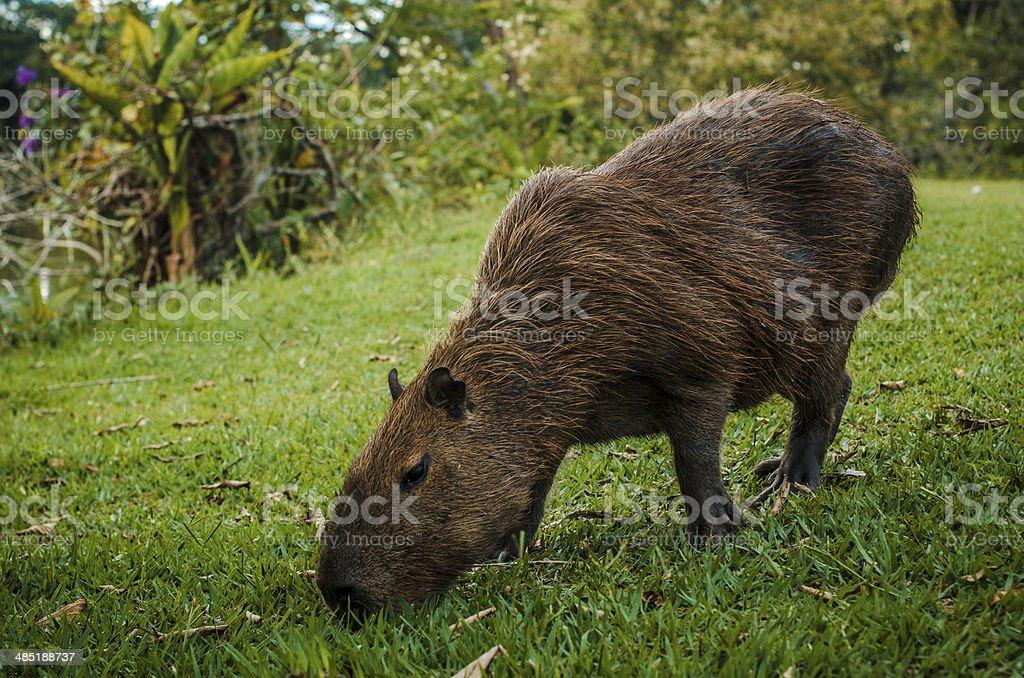 Wild capybara stock photo