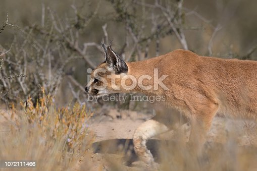 An adult wild Caracal (Caracal caracal) close up in hunting mode in desert vegetation, Kgalagadi Transfrontier Park, South Africa