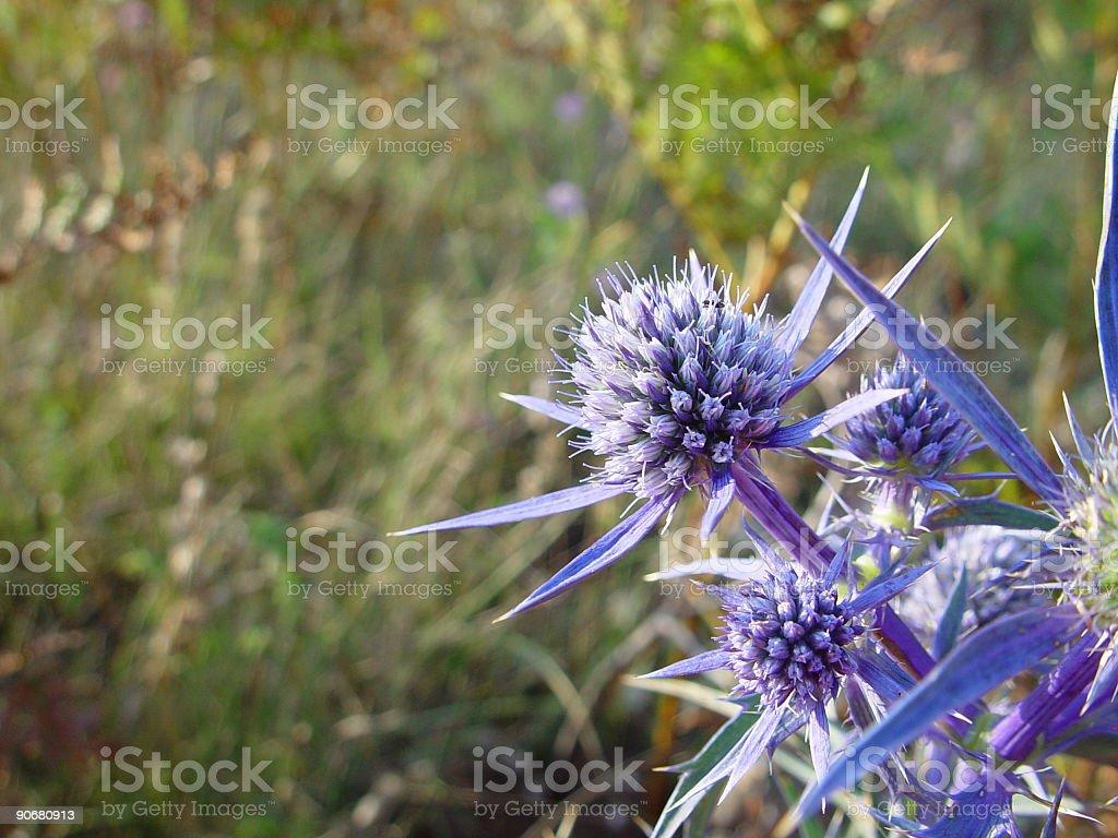 Wild Carduus Flower royalty-free stock photo